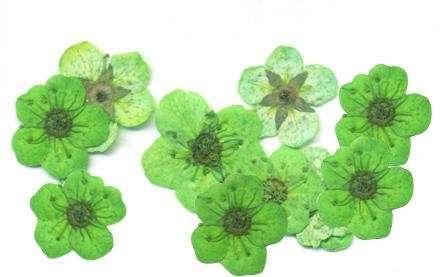Сухоцветы (08 зеленый пятилистник) 10 шт.